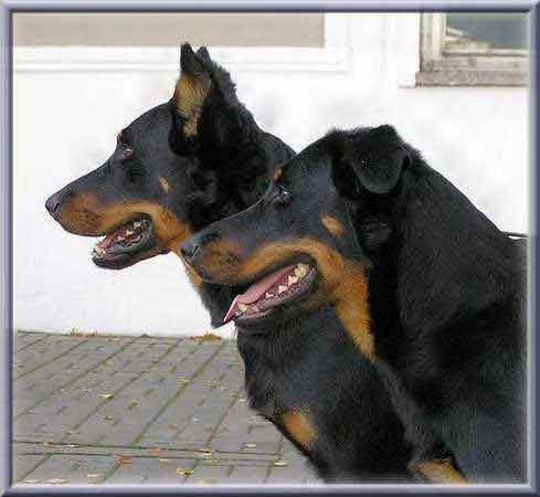 Beauceron elevage de beaucerons lof familial chiot chiens bretagne normandie - Coupe des oreilles dobermann ...