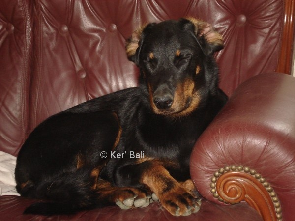 CALLAC beauceron LOF- berger de beauce