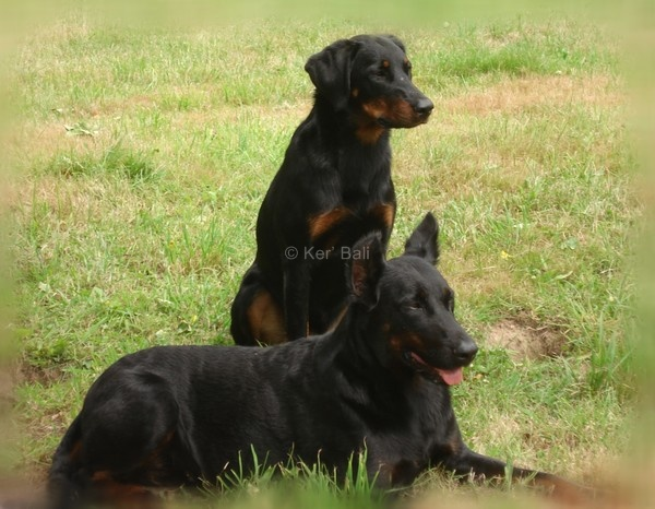 Vylkie beauceron LOF- berger de beauce